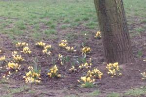 Первоцветы в парках Лондона